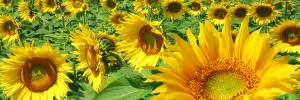 sunflowers-300x100